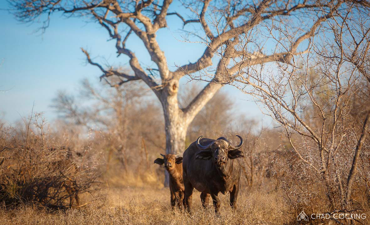 Tanda Tula - buffalo cow and calf in the Greater Kruger, South Africa