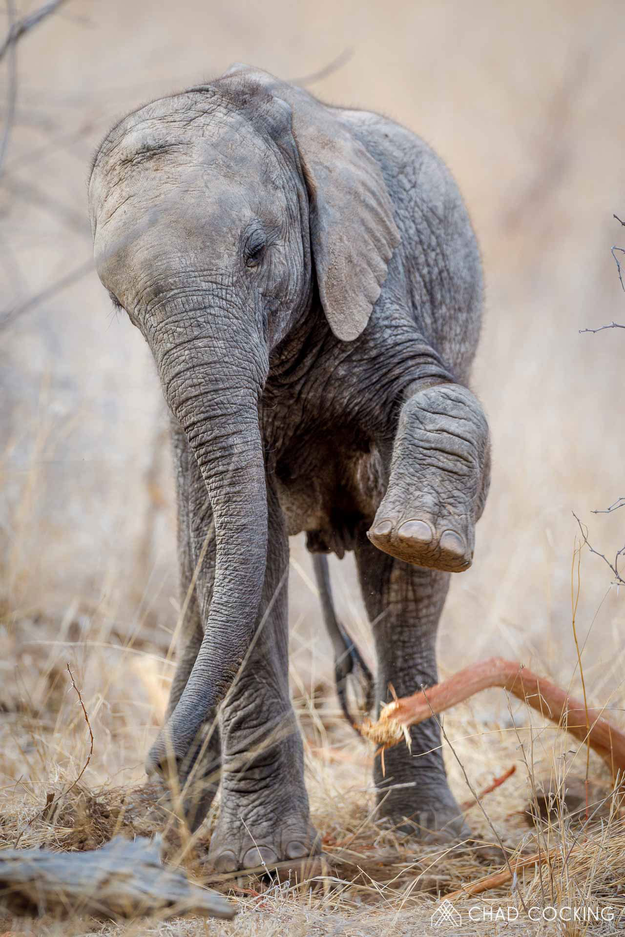 Tanda Tula - elephant calf digging up a root in the Greater Kruger, South Africa