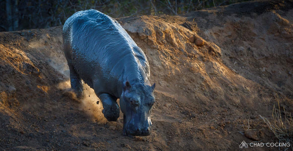 Tanda Tula - hippo calf heading to water in the Greater Kruger, South Africa