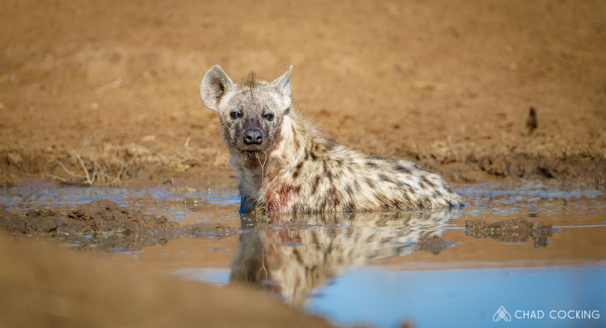 Tanda Tula - Hyena bathing in the Greater Kruger, South Africa