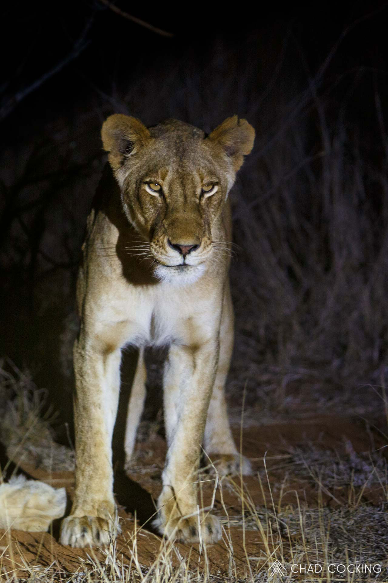 Tanda Tula - River pride lioness in the Greater Kruger, South Africa
